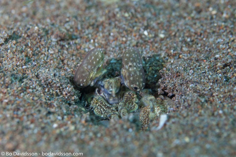 BD-151223-Dauin-9369-Lysiosquillina-maculata-(Fabricius.-1793)-[Spearer-mantis-shrimp].jpg